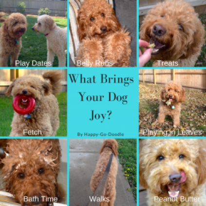 Photo collage of goldendoodle dogs doing activities