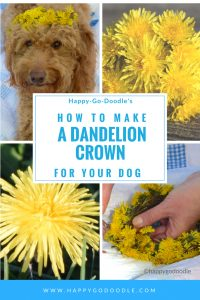 goldendoodle dog wearing a dandelion crown and how to title