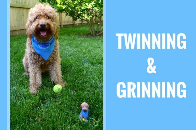 "Happy-Go-Doodle, a red goldendoodle dog, sitting with a matching dog bobblehead in the green grass with type ""twinning and grinning"""