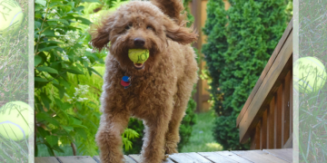 """Red goldendoodle dog prancing up stairs of deck with yellow dog ball that says """"joy"""" and lush foliage in background"""