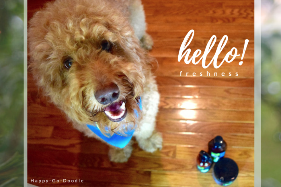 "Happy-Go-Doodle Chloe, a red goldendoodle dog, says ""hello freshness"" to Fresh Wave odor eliminating products"