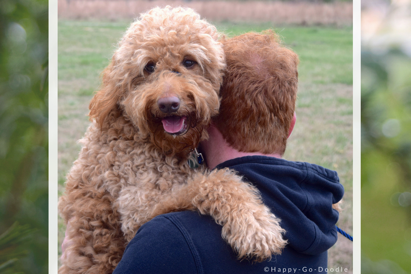 a red goldendoodle dog hugging the shoulder of family member as she's being carried.