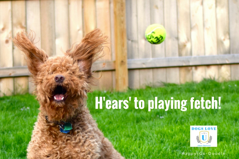 """Hears"" to playing fetch quote with red goldendoodle dog with ears up"