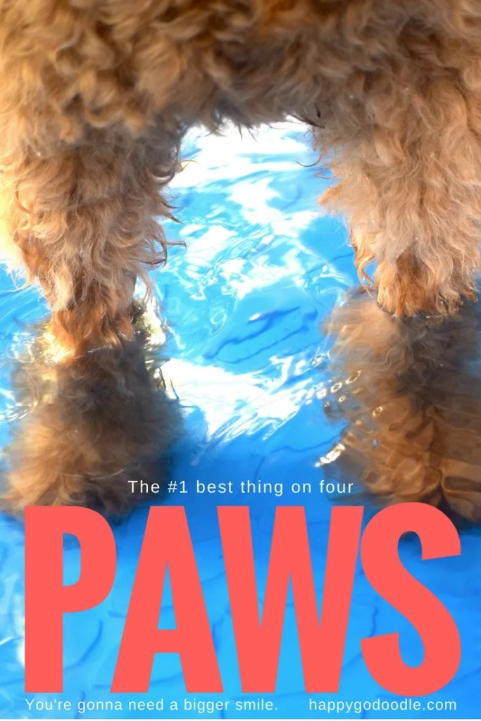 If dogs were the main character in every book, this goldendoodle dog would be featured in PAWS the #1 best thing on four PAWS a parody of JAWS and with photo of goldendoodle dog's fluffy paws standing in water in blue kiddie pool with large red type that says PAWS and subtitle that says you're gonna need a bigger smile