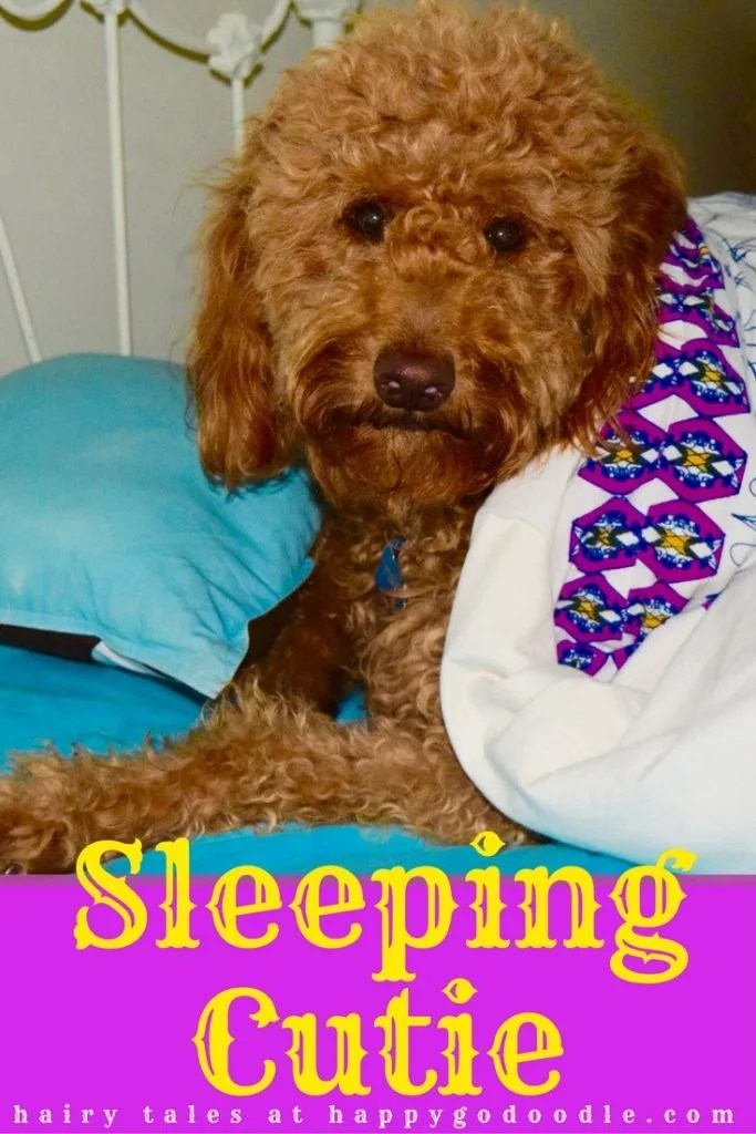 If dogs were the main characters in fairy tales, Happy-Go-Doodle Chloe would be Sleeping Cutie a parody of Sleeping Beauty and featuring this red goldendoodle snuggled in bed with royal looking blankets and fairy tale title Sleeping Cutie