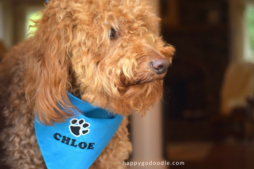 Red goldendoodle dog wearing a blue personalized dog bandana with dog's name and a pawprint