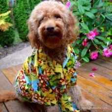 Red goldendoodle dog wearing colorful Hawaiian shirt with pink flowers in background