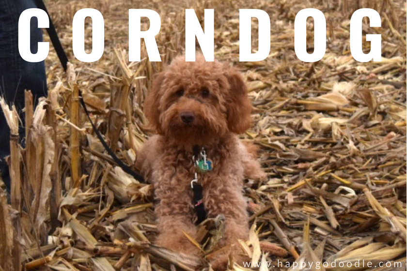 Dog in cornfield and the word corn dog as an example of dog puns
