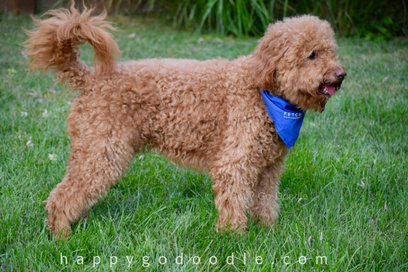 side view of red goldendoodle staniding in green grass