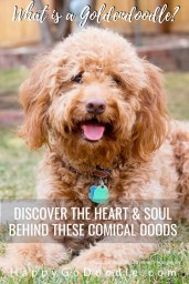 happy red goldendoodle and title what is a goldendoodle
