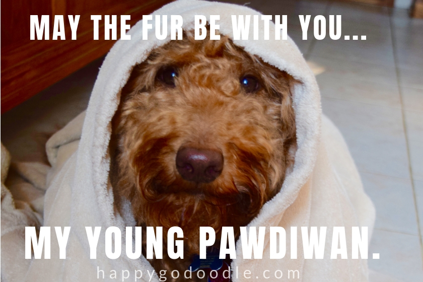 dog pun meme and Goldendoodle dog's face