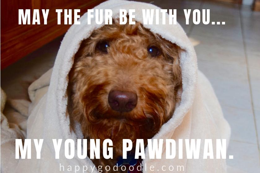 dog pun meme and Goldendoodle dog's face