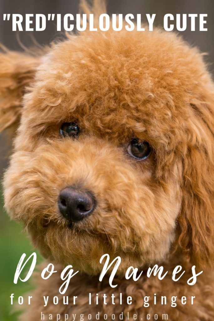 title red-iculously cute red dog names and red goldendoodle picture