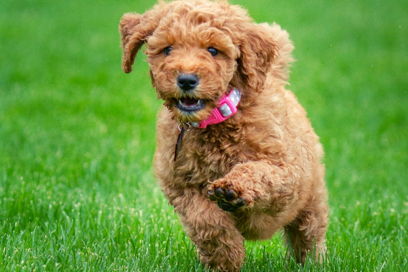 red goldendoodle puppy names image