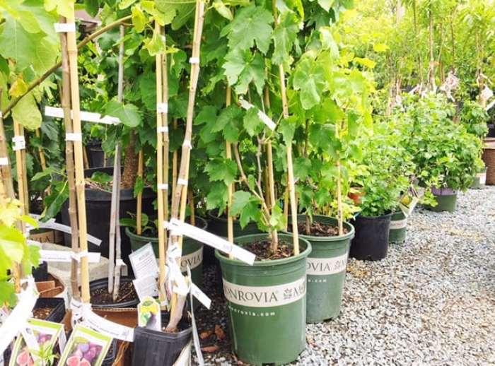 monrovia plants grapes