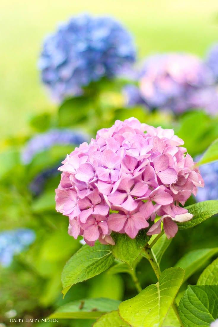 pink hydrangeas in garden