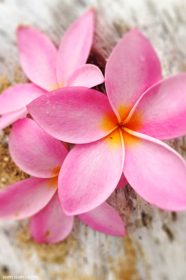 Plumeria flowers are everywhere in Kauai Hawaii. Check out this informative post about our travels to this beautiful island. #vacations #travels #hawaii