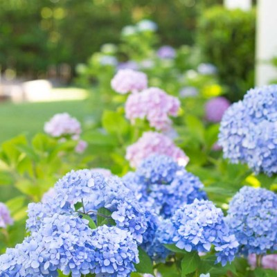 How to Start a Hydrangea Plant