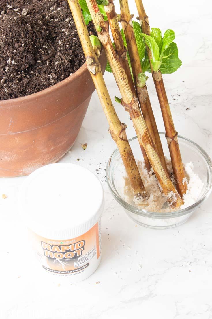 propagating hydrangea stems