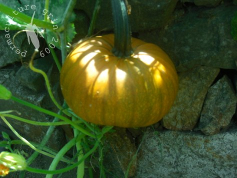 One of our pumpkins, pre-move