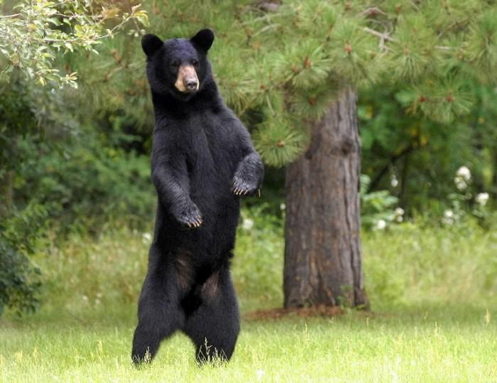 black-bear-standing1-700x539