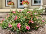 Caring for Rose Bushes and Keeping the Deer Away