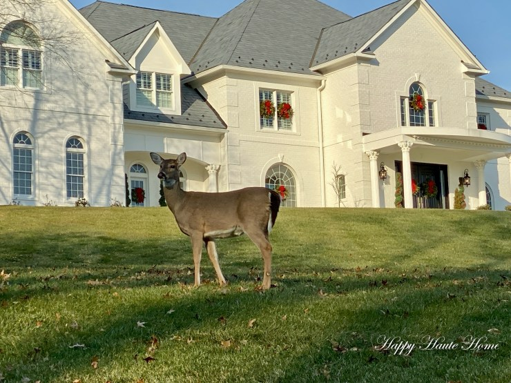 Reindeer on lawn-4