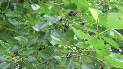 Mulberries ripe for picking
