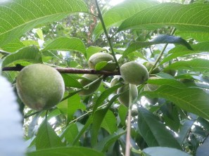 Peaches are booming this year.