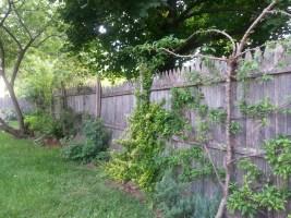 Espaliered trees (plum, apple, pear, peach)