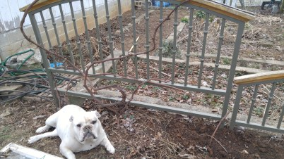 Pearl approves of the pruned grape vines.