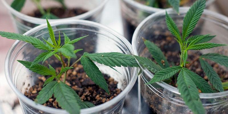 Teaching Veterans to Grow Cannabis