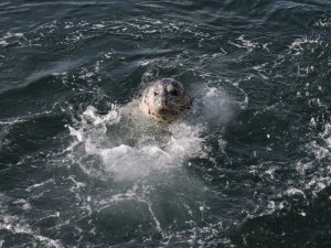 HARBOR SEAL at Fisherman's Wharf splashing to get us to throw him a fish