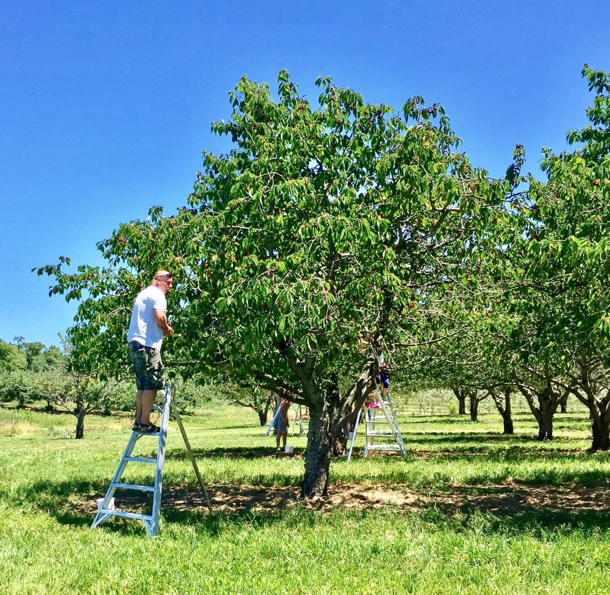 Cherry picking at Becker Farms