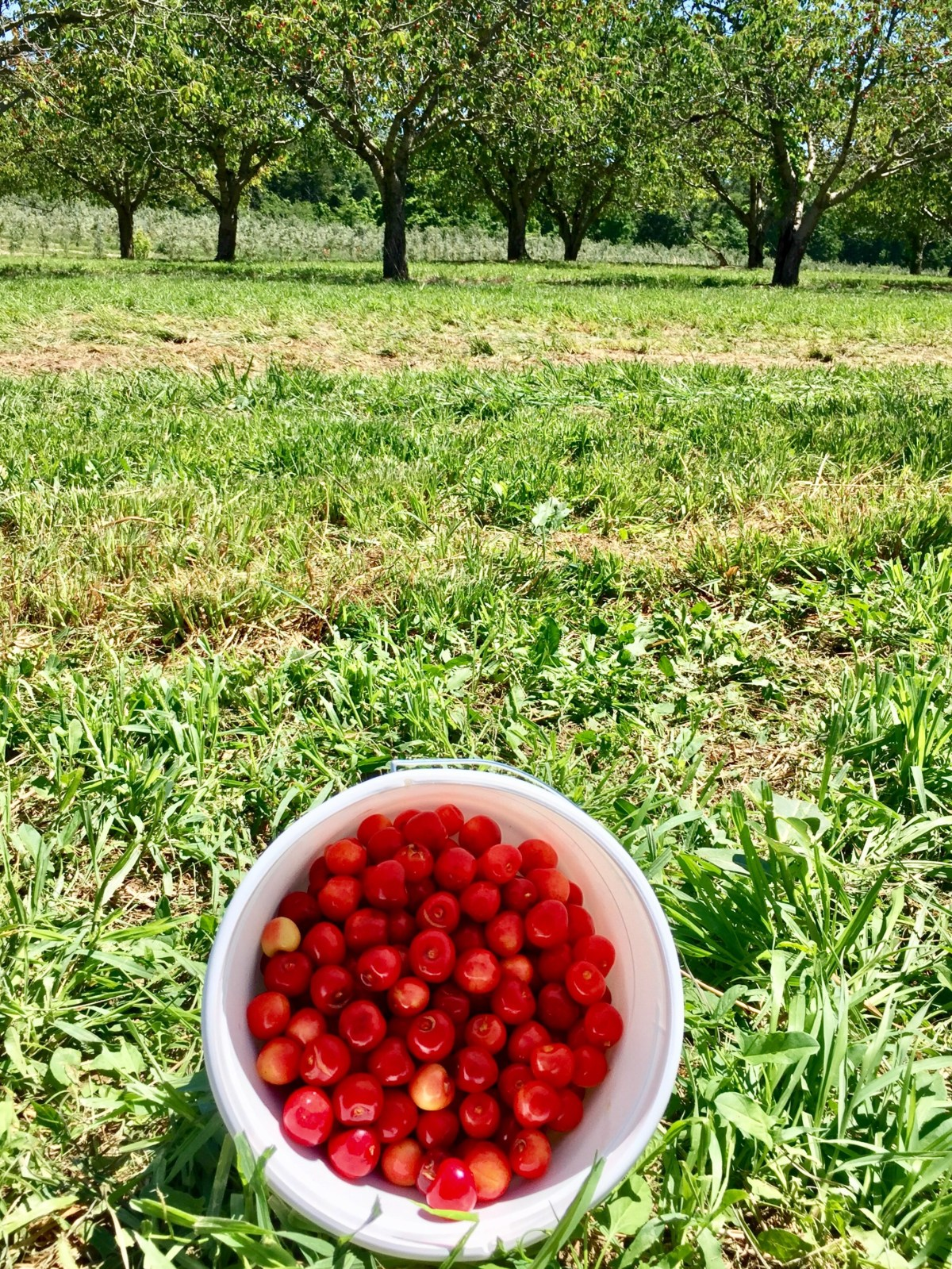 Bucket of cherries freshly picked from Becker Farms