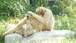 gibbon-favoris-blancs-lyon