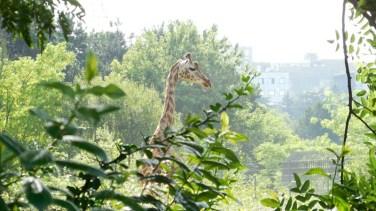 girafe-lyon