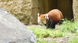 panda-roux-lyon3
