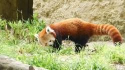 panda-roux-lyon4