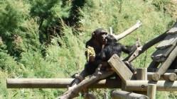 Sigean - Chimpanzé 1