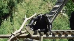 Sigean - Chimpanzé 2