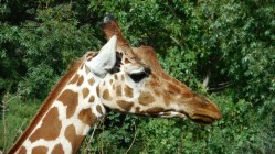 Sigean - Girafe