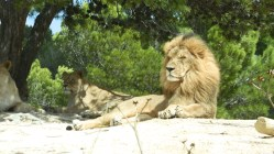 Sigean - Lion