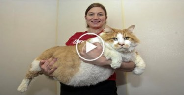 This is the fattest cat in the world. You have to see ...