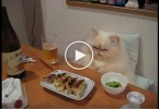 Fat Persian Cat Eating At The Table As a Real Human. UNBELIEVABLE.