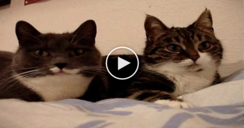 You Have To Hear These Two Talking Cats So Funny Happy Pets Club