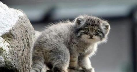 Pallas cats are the oldest species of cat happy pets club pallas cats publicscrutiny Images