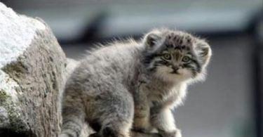 Pallas Cats