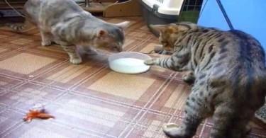 Cutest Cat Fight Over Milk.. LOL. Hilarious Reaction.