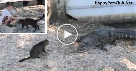 Hero Cat Saves Kid From Two Dangerous Alligators. Incredible VIDEO !